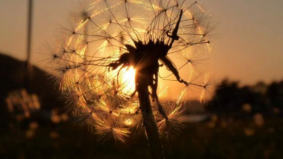 Sunlight through a dandelion flower wallpaper