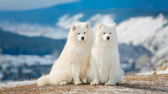Samoyed dogs wallpaper