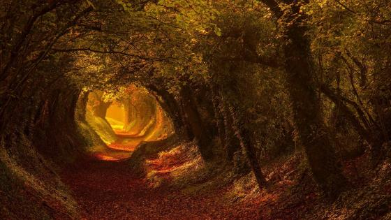 Autumn tree tunnel (Halnaker, England) wallpaper