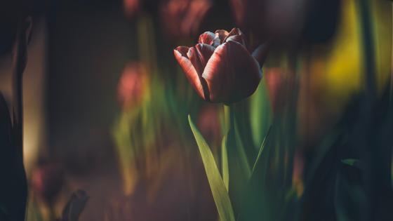 Beautiful tulip wallpaper