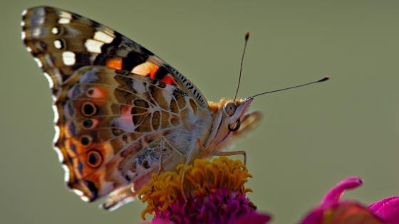 Painted lady butterfly wallpaper