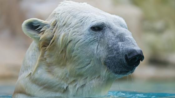 Wet polar bear wallpaper