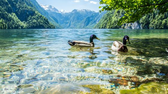 Ducks on Königssee lake (Berchtesgaden National Park) wallpaper