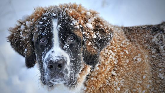 St. Bernard dog with snowy fur wallpaper