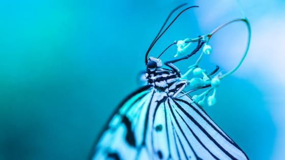 Blue butterfly - Macro photography wallpaper