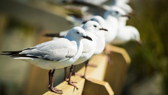 Gulls wallpaper
