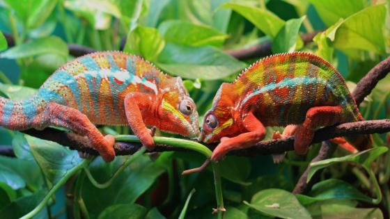 Two chameleons on a tree wallpaper