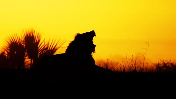 Yawning lion silhouette wallpaper