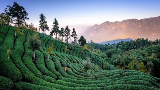 Tea plantation wallpaper