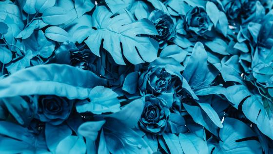 Roses in blue wallpaper