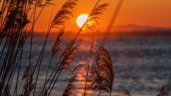 Sunset in reeds wallpaper