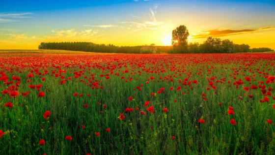 Field of poppies at sundown wallpaper