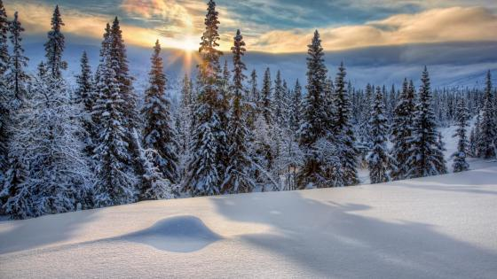 Snowy evergreen forest wallpaper