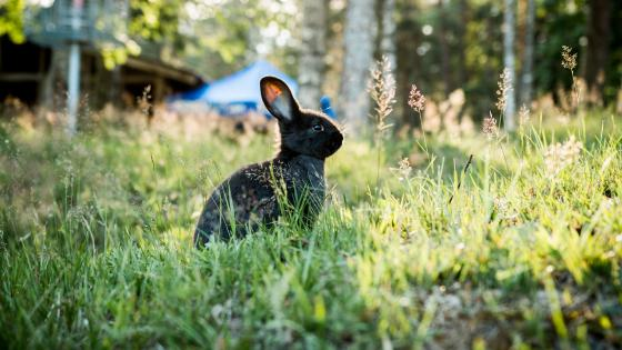 Black rabbit sitting in the grass wallpaper