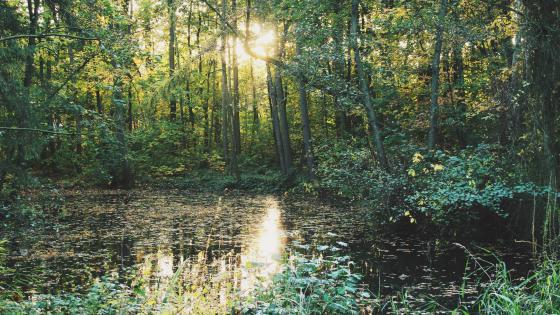 Forest wetland wallpaper