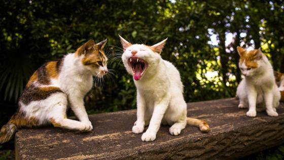 Yawning cat wallpaper