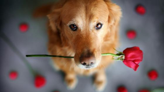 Golden Retriever dog holding a red rose wallpaper