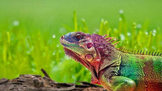 Colorful Iguana wallpaper