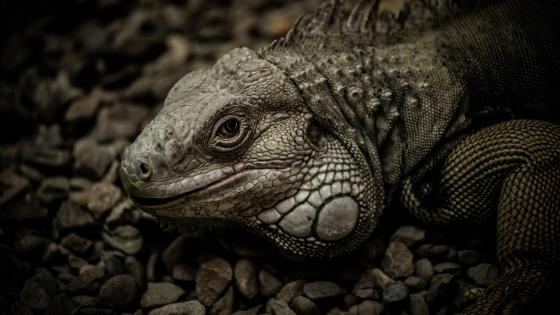 Iguana close-up wallpaper