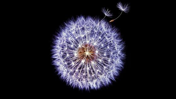 Dandelion Globular Head Of Seeds Black wallpaper