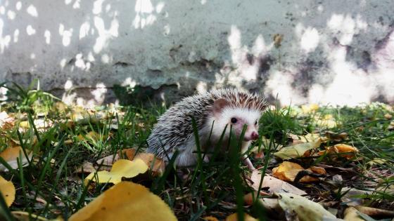 Beautiful Hedgehog wallpaper
