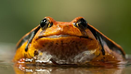 Tomato frog wallpaper