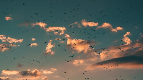 Birds in the sky wallpaper