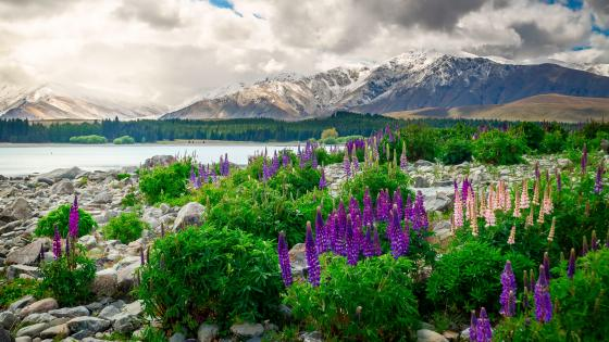 Lupine blossom at Lake Tekapo wallpaper