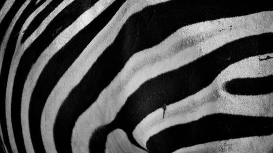 Zebra sample wallpaper