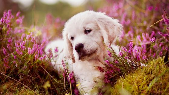 Golden Retriever puppy between flowers wallpaper