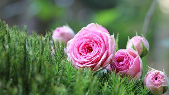 Beautiful pink roses wallpaper