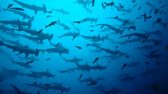 Hammerheads wallpaper