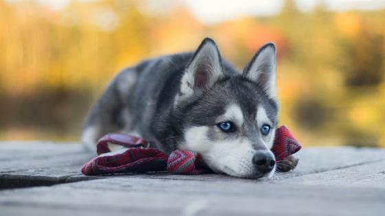 Siberian Husky puppy wallpaper