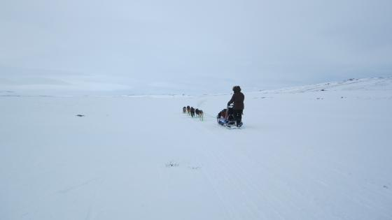Dog sledding wallpaper