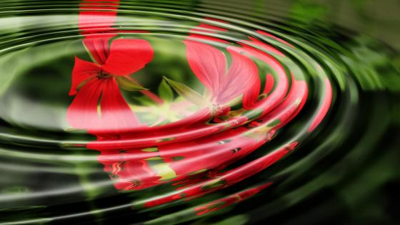 Geranium reflection wallpaper