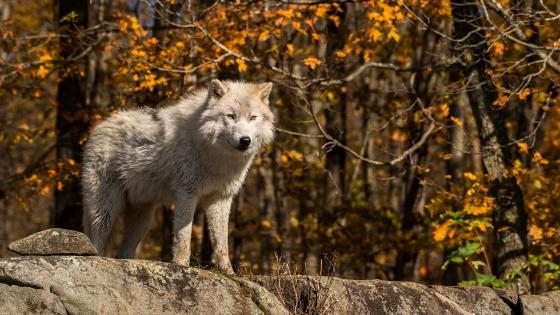 Alaskan tundra wolf at fall wallpaper