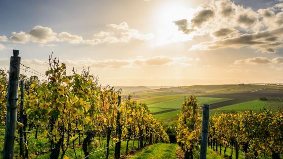 Vineyards landscape wallpaper