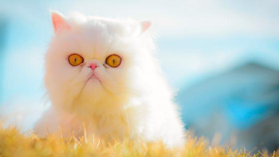 white grumpy cat wallpaper