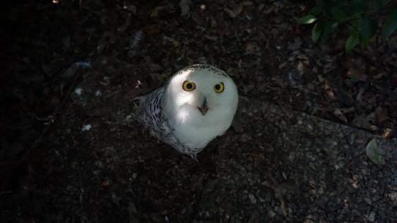 Curious owl wallpaper