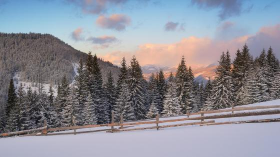 Fir forest in winter wallpaper