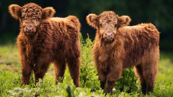 Highland cattle babies wallpaper