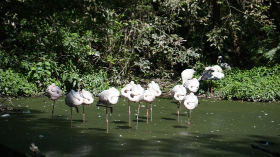 White Flamingos wallpaper