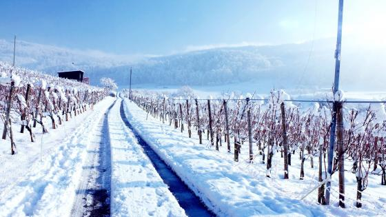 Vineyards in winter wallpaper