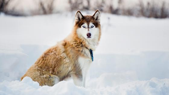 Husky in the snow wallpaper