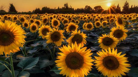 Sunflower Field 🌻 wallpaper