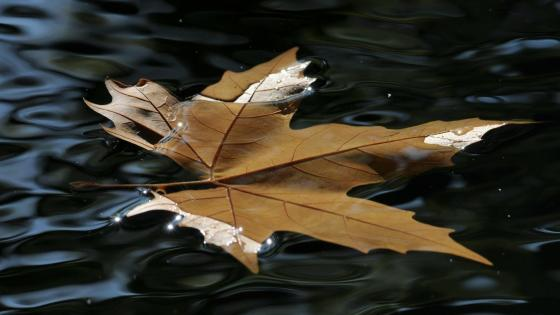 Maple leaf floating on the water wallpaper