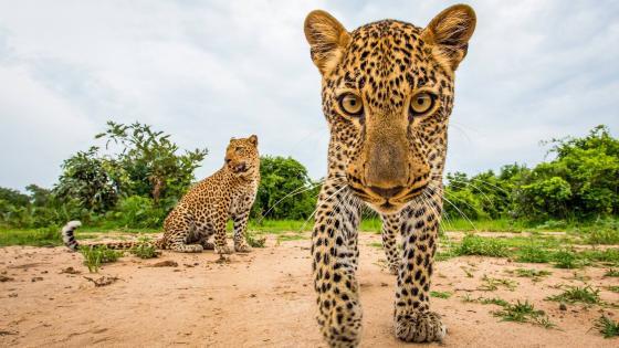 Inquisitive leopard wallpaper