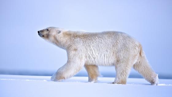 Polar bear walking in the snow wallpaper