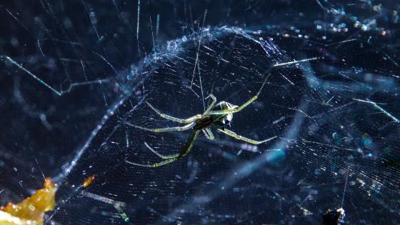 Spider in web wallpaper