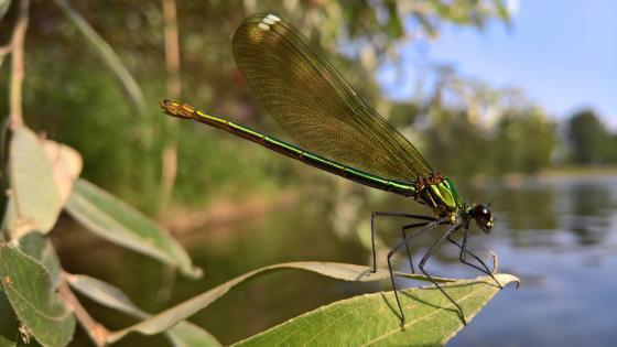 Damselfly wallpaper